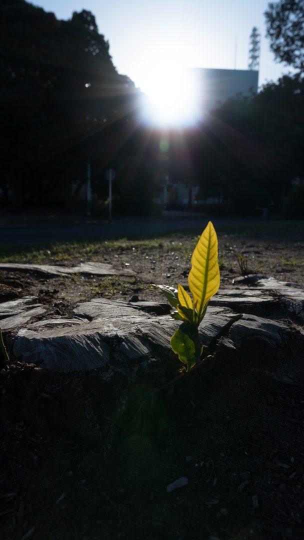 逆光でもに照らされる葉っぱ周辺のコントラストに偽色が発生してないことから、逆光性能の高さがわかる